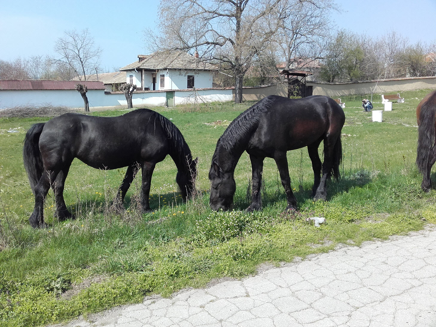Escaped horses in Resen village, Bulgaria