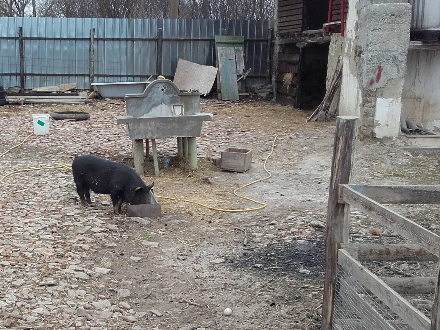 A little black pig - being raised to go off to stud - having a walkabout