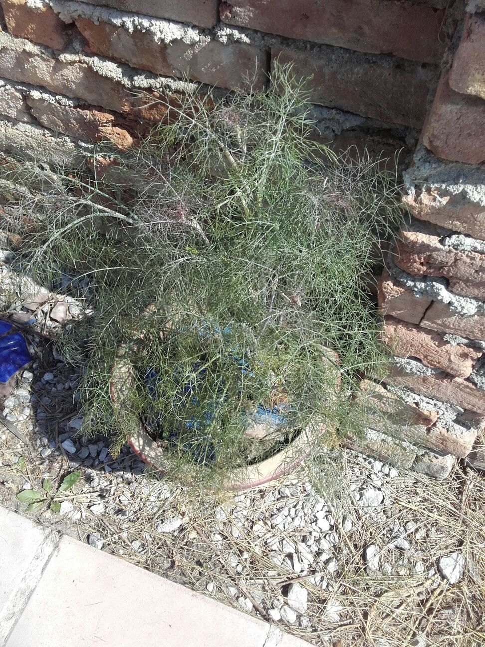 A fine herb fennel plant - fine anti-tick/flea deterrent for the dogs and a lovely taste too