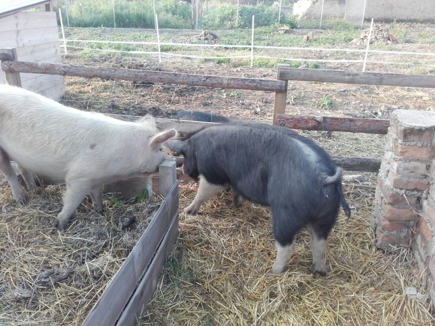 Girl pigs go walkabout