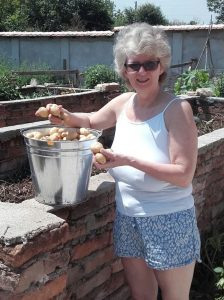 Jane harvesting our very first potatoes (Maris Piper) for over 30 years!