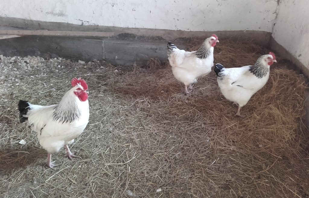 Light Sussex in the coop