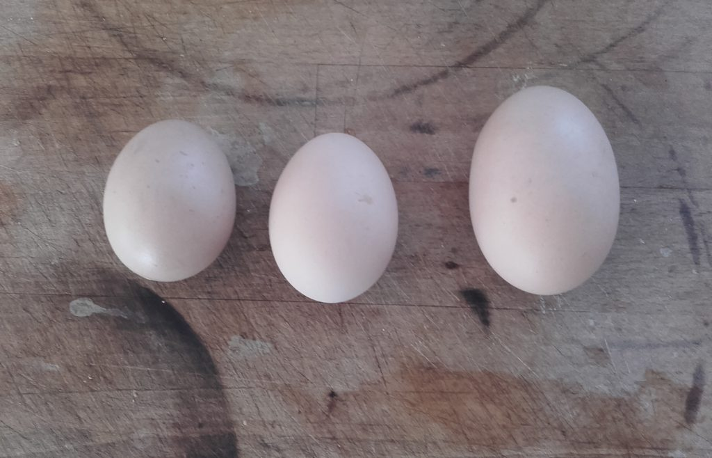 Regular eggs from our Light Sussex girls