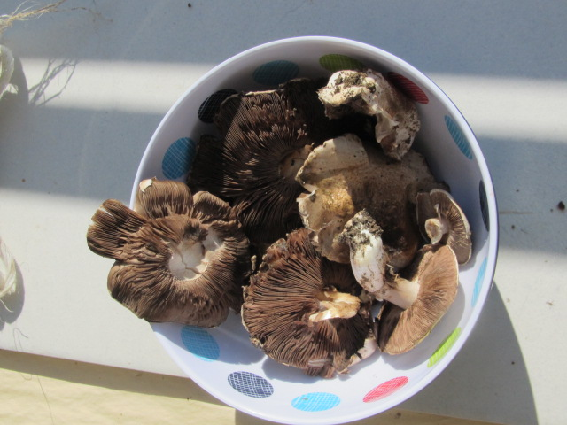 Fresh mushrooms from our field